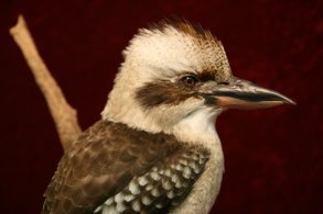 Kookaburra: 2. Platz in der Kategorie Medium birds
