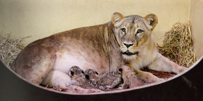 eine Löwenmutter mit drei Jungen